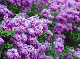 В самый пик цветения заполни литрушку растительным маслом и фиолетовыми цветками…