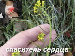 Вылечила свое больное сердце скромной травкой — это очень сильное растение