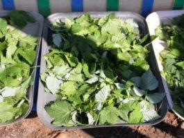 Зачем же я каждый год сушу листья смородины? Да потому что они лечат кучу болезней, причем без вреда для организма