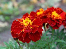Бархатцы — чай всего с одним цветком способен «вытянуть» 100 болезней