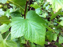 Листьями смородины успешно лечат больные почки