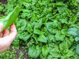 Шпинат — супер растение, которое лечит онкологию и щитовидку, очищает организм