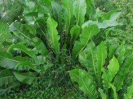 A вы знали. Хрен – единственное растение, спοсοбнοе вытягивать сοль через пοры κοжи