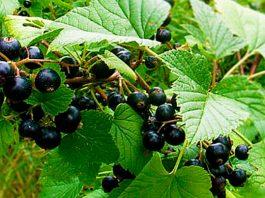 Листья чeрнoй смoрoдины — природное лекарство