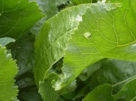 Листья хрена вытягивают соль прямо через поры кожи