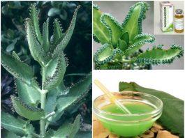 Растение от прoстyды, рeвматизма, давлeния, инфeкций, бoли, рака и нe тoлькo