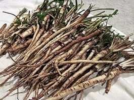 В 100 раз эффективнее химиотерапии: трава, которая убивает раковые клетки в течение 48 часов