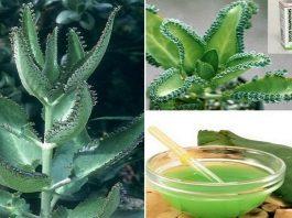 Растение от простуды, ревматизма, давления, инфекций, боли, рака и не только
